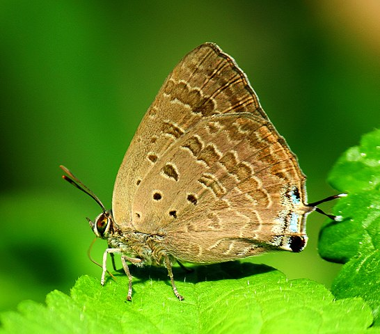Sưu tập Bộ cánh vảy 3 - Page 22 546px-Close_wing_position_of_Arhopala_atrax%2C_Hewitson%2C_1862_%E2%80%93_Indian_Oakblue_WLB