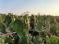 Closeup of cactus 2.jpg