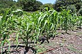 Coastal Georgia Botanical Gardens, Corn.jpg
