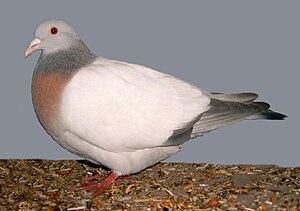 Coburg Lark pigeon - Coburg lark