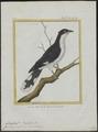 Coccystes jacobinus - 1700-1880 - Print - Iconographia Zoologica - Special Collections University of Amsterdam - UBA01 IZ18800269.tif