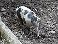 Cochon de Bayeux (2).JPG
