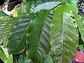 Coffea arabica 1zz.jpg
