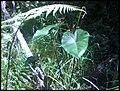 Colocasia esculenta 'Fontanesii' (L.) Schott (AM AK302116-2).jpg