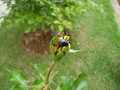 Colorful beetle from Brasília, Brazil in a yellow rose 1.png