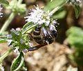 Colpa quinquecincta. Scoliidae (24351563460).jpg