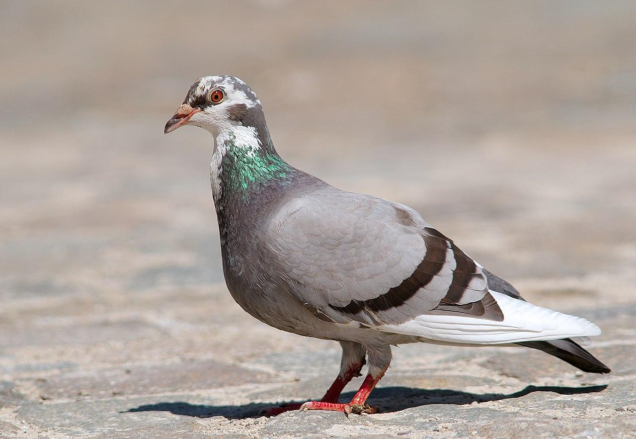 Pigeon biset panaché
