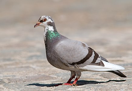 Common pigeon (Columba livia).