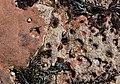 Common Limpet (Patella vulgata) attachment depressions on red sandstone, Seamill, North Ayrshire.jpg