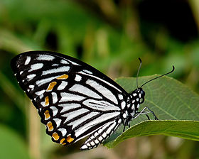 Common Mime Papilio clytia Form dissimilis by kadavoor.jpg