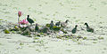 Common Moorhen Family I2 IMG 1415.jpg