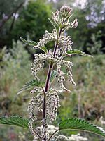 Common Nettle (Urtica dioica).jpg