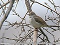Common Whitethroat (Sylvia communis) (31087112048).jpg