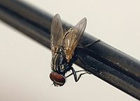 Common housefly 01.jpg