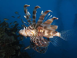 Common lionfish at Shaab Angosh reef.JPG