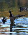 Compans lake - Anas platyrhynchos 04.JPG