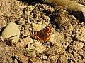 Compton tortoiseshell (SC Woodlot) 3.jpg