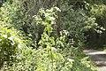 Conium maculatum-4459.jpg