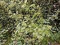 Conium maculatum plant (03).jpg