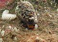 Conus flavidus (2).jpg