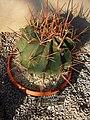 Conville's barrel cactus - Ferocactus ernoryi.jpg