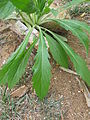 Conyza sumatrensis leaf1 Rylestone (15006775522).jpg