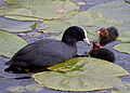 Coot and chicks (4585435918).jpg