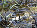 Cordulegaster.boltonii.female.laying.eggs.jpg