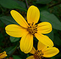 Coreopsis mutica 3.jpg