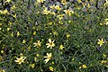 Coreopsis verticillata Moonbeam 9zz.jpg