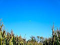 Corn Maze and the Moon - panoramio.jpg