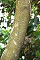 Cornus capitata in Christchurch Botanic Gardens 01.jpg