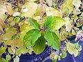 Cornus sanguinea Midwinter Fire 2zz.jpg