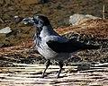 Corvus cornix Oulu 20120506b.JPG