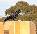 Corvus coronoides - Glebe Point, Sydney, New South Wales, Australia-8.jpg