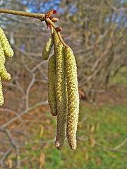 Lieska obyčajná - samčie kvety (jahňady) a samičie kvety (nad jahňadami, malé červené)