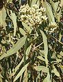 Corymbia terminalis buds.jpg