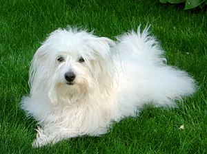 "A Coton de Tulear making the famous ""Fren..."