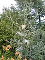 Cotton Thistle, Chester Zoo.jpg