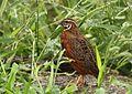 Coturnix delegorguei (Phasianidae) (Harlequin Quail) - (male adult), Kruger National Park, South Africa - 2.jpg