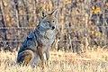 Coyote (22832510208).jpg