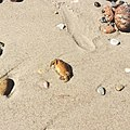 Crab Movement (144718745).jpeg