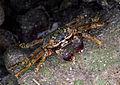 Crabe aux Maldives.jpg