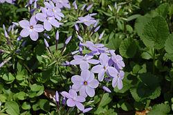 Creeping Phlox Phlox stolonifera Flowers 3008px.jpg