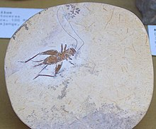 Cretaceous Orthoptera fossil.jpg