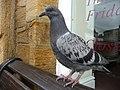 Crewkerne , Pigeon - geograph.org.uk - 1259284.jpg