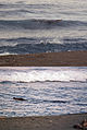 Crocodylus porosus foraging in surf at Maconacon - ZooKeys-266-001-g104.jpg