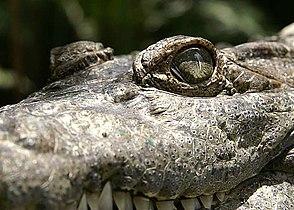 Crocodylusmindorensis.jpg