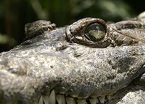 Crocodylus mindorensis.