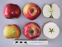 Cross section of Cutler Grieve, National Fruit Collection (acc. 1924-021).jpg